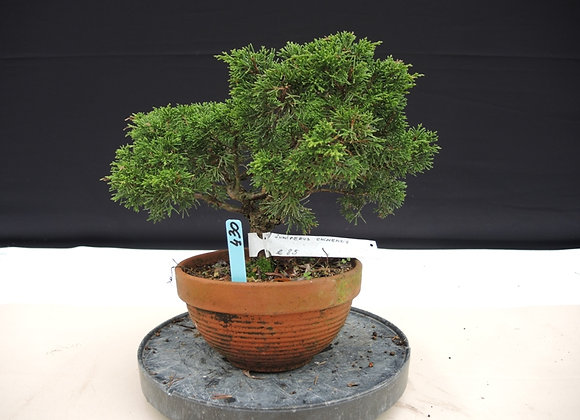 430 - Juniperus Chinensis