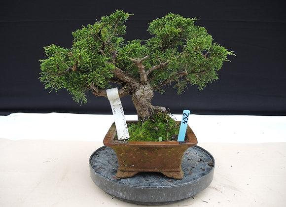 432 - Juniperus Chinensis