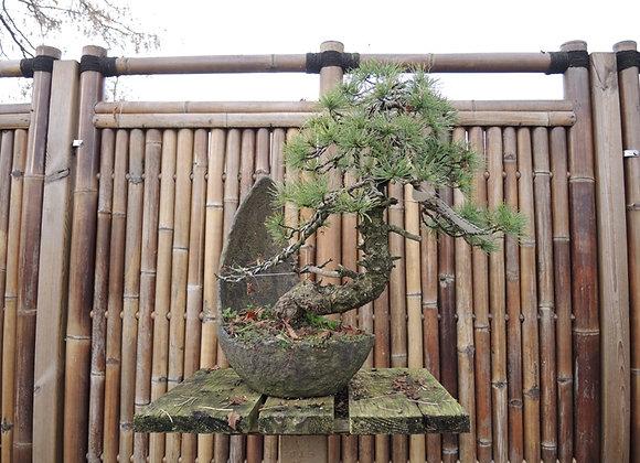 205 - Pinus Parviflora