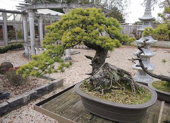 211 - Pinus Azuma