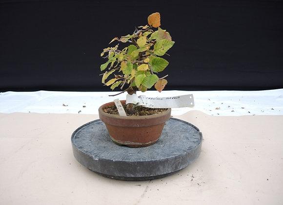 145 - Carpinus Coreana