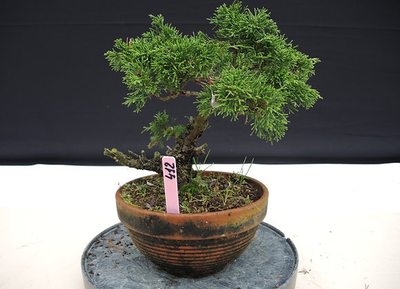412 - Juniperus Chinensis