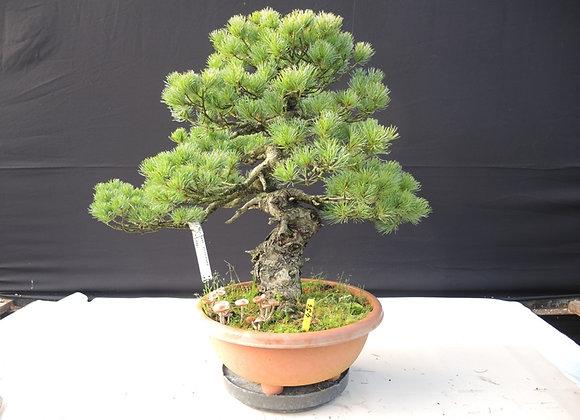 454 - Pinus Parviflora