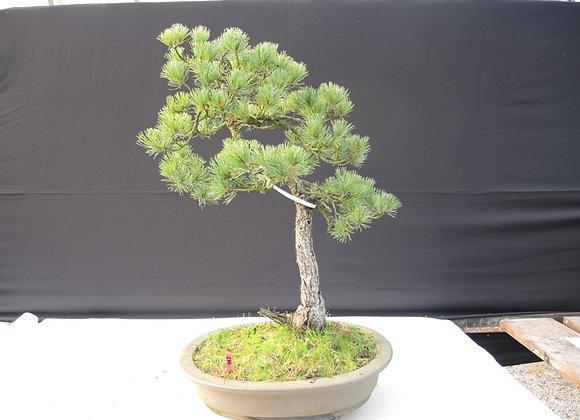 442 - Pinus Parviflora