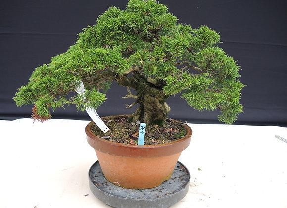 435 - Juniperus Chinensis