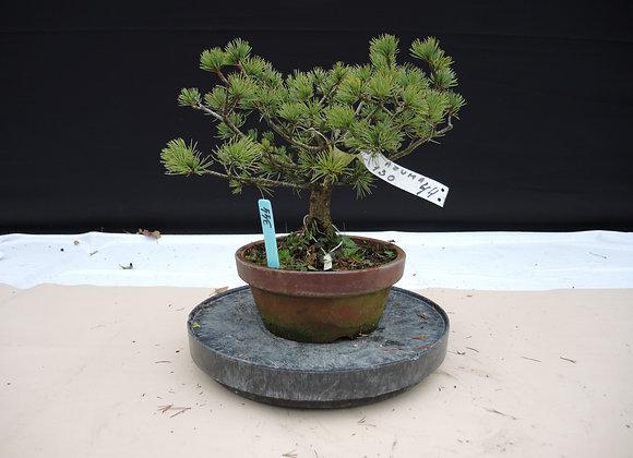 344 - Pinus Azuma