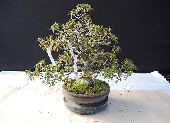 34 - Satsuki Azalea