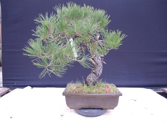 449 - Pinus Parviflora