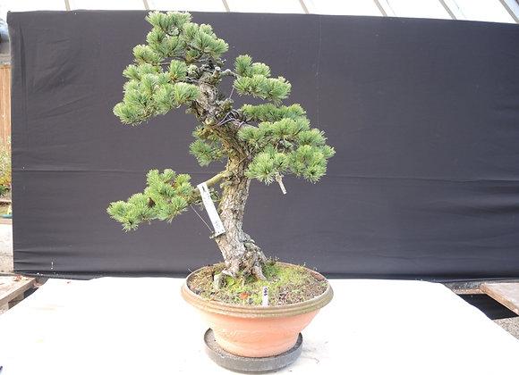 440 - Pinus Parviflora