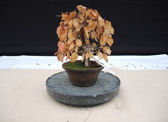 136 - Carpinus Coreana