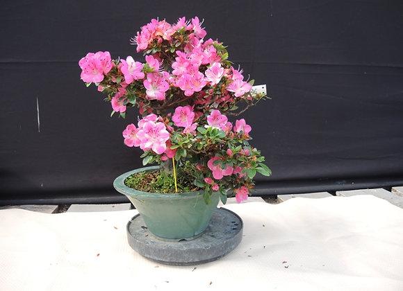 96 - Satsuki Azalea