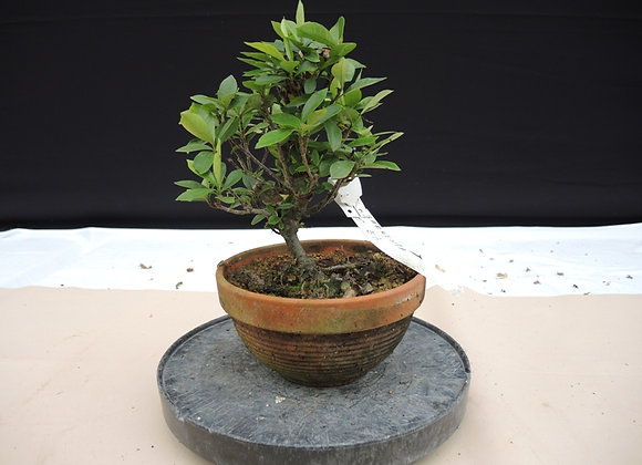 143 - Gardenia