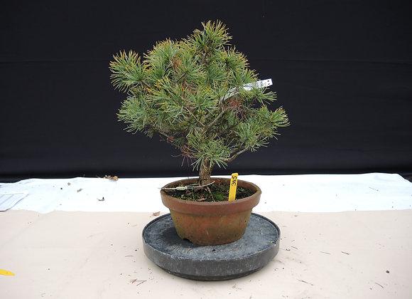 345 - Pinus Azuma
