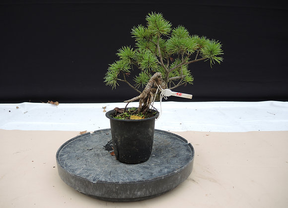 316 - Pinus Azuma