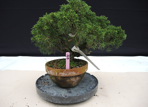 411 - Juniperus Chinensis
