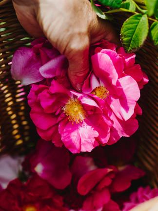 Rosenzüchterin Lilo Meier