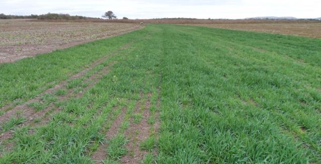 3. Se procede a la implantación de la pastura que dará cobertura y protección al canal.