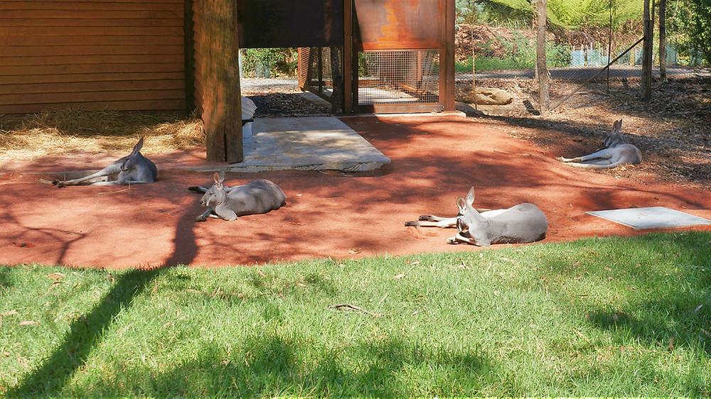 Kangaroos and wallabies at Healesville Sanctuary