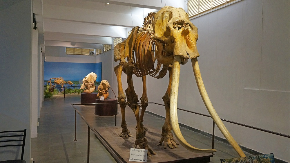 An Asian elephant at the National Museum of Natural History