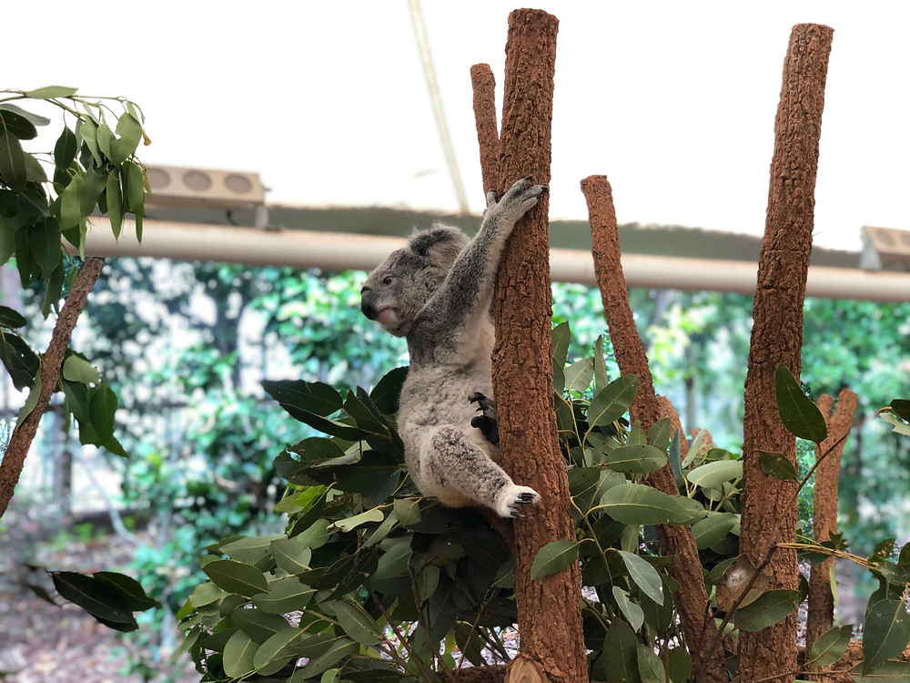 A koala bear that is awake, perhaps looking for his friends for a chat