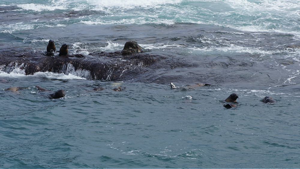 The younger seals prefer swimming about in the seas