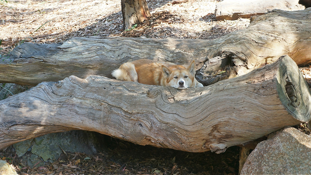 A relaxed dingo chilling at Healesville Sanctuary