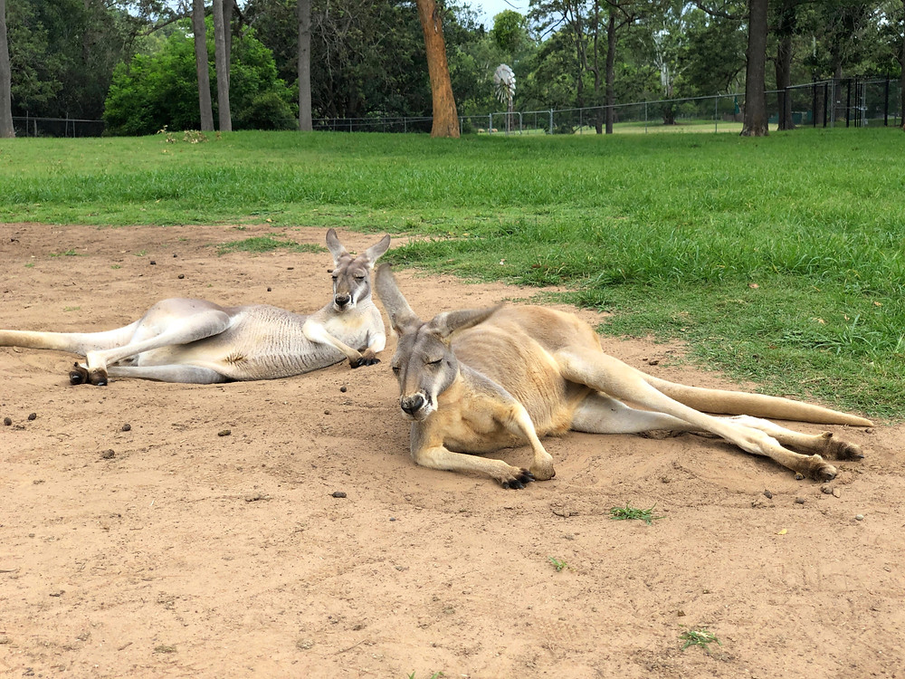 A day of pure relaxation for these kangaroos