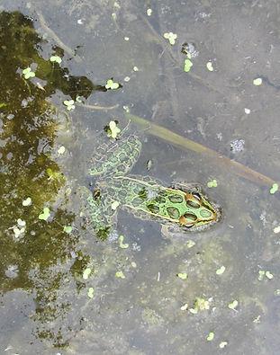 Pond Dweller.jpg