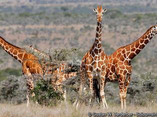 Giraffe Kenya.jpg