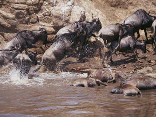 The Wildebeest Migration at the Maasai Mara