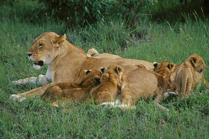 Lions and Cubs.jpg