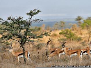 Grazing Gazelles.jpg