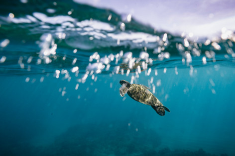 Sea Turtle 3