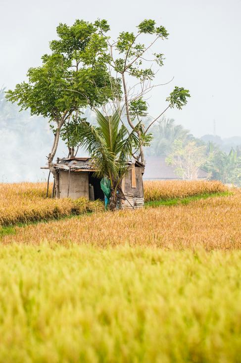Rice fields in Ubud, Bali, Indonesia
