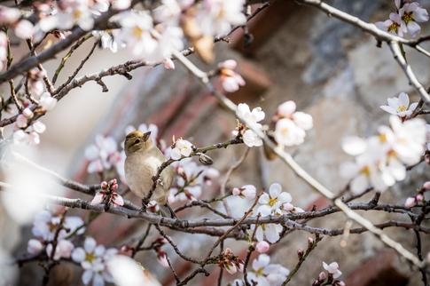 Almond Tree with Bird in Siruana, Spain