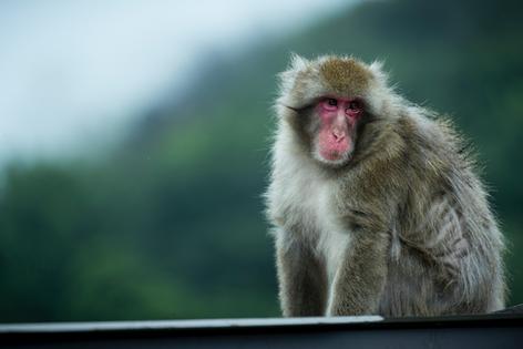 Arashiyama Monkey Forest in Kyoto
