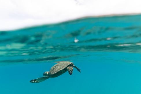 underwater-photography_sea-turtle_ocean_hawaii_4.jpg