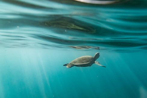 underwater-photography_sea-turtle_ocean_hawaii_5.jpg