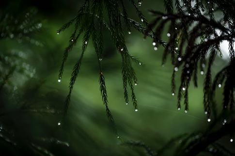 Arashiyama Dew Drops