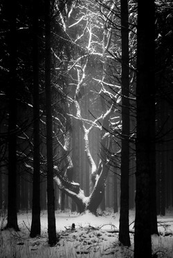 L'arbre - Weywertz - Belgique