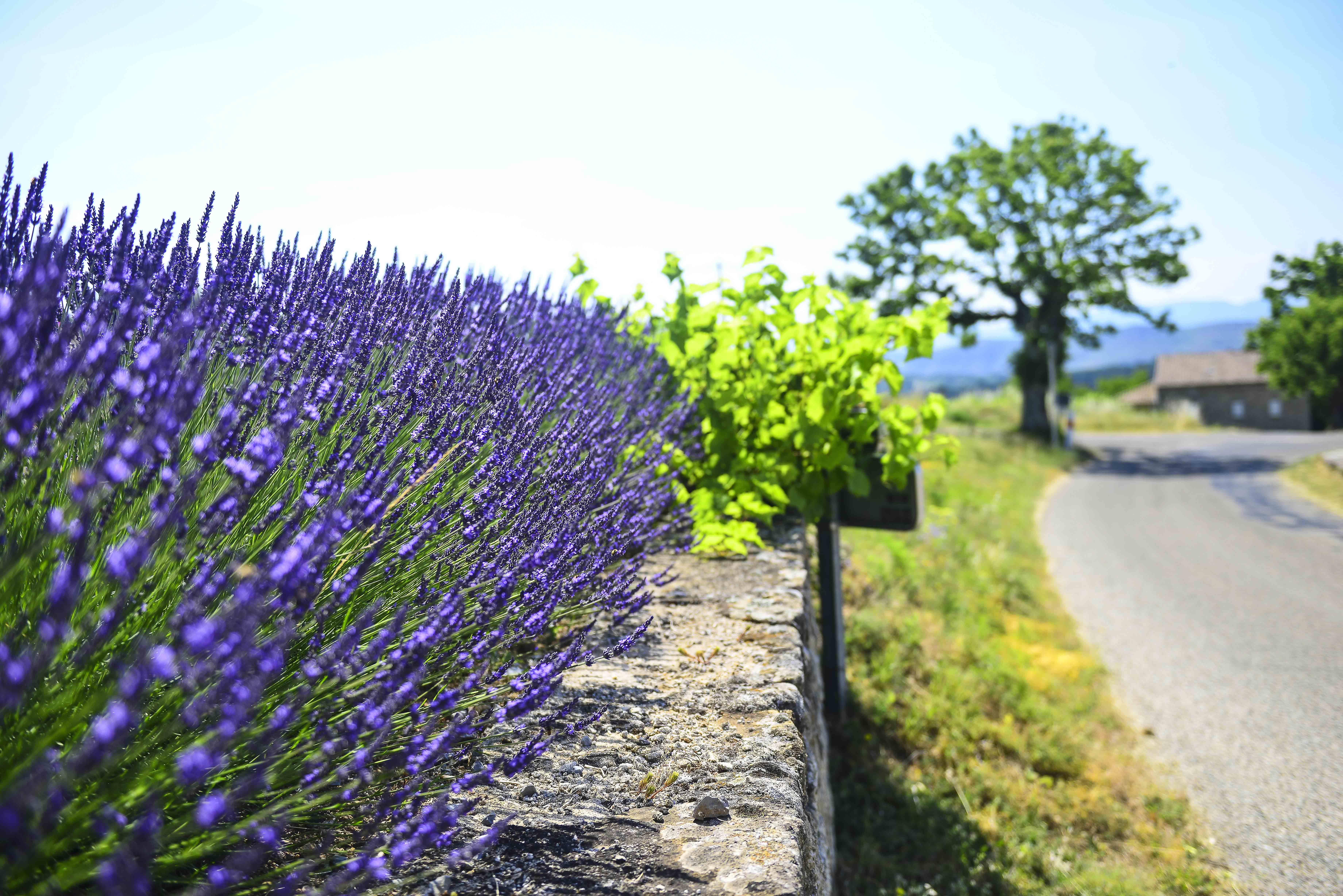 Lavande - Vernon - Ardèche - France