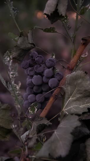tuscany grape