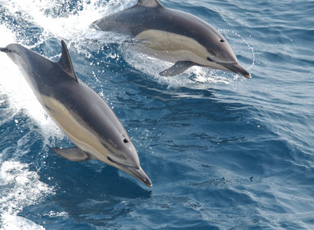 Watch the dolphins in Antibes!
