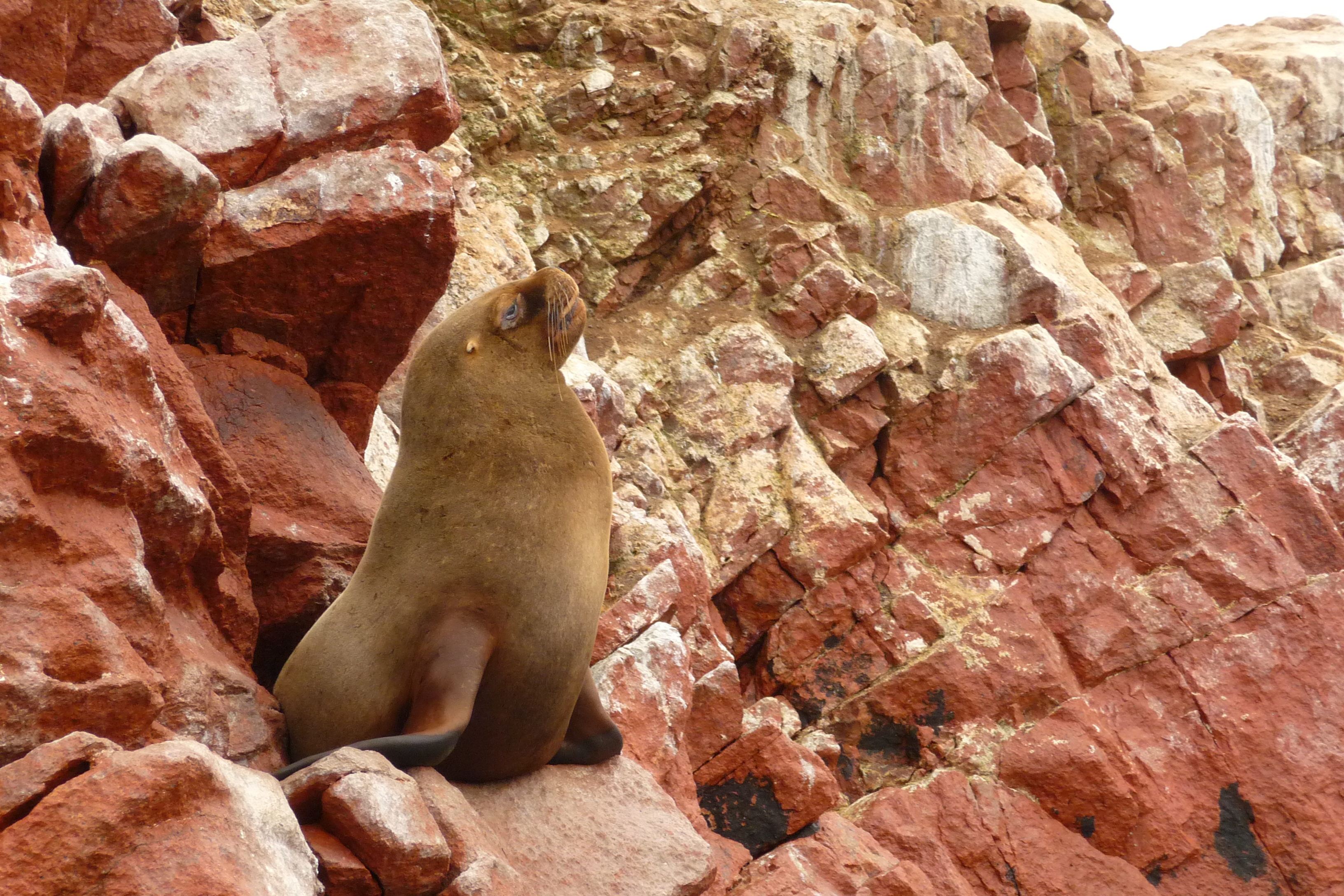 sea lion at ballesta islands