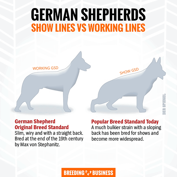 working-vs-showing-german-shepherds-800x