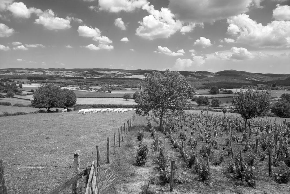 Entre-vignes-et-vaches---Lournand---4988-nbw