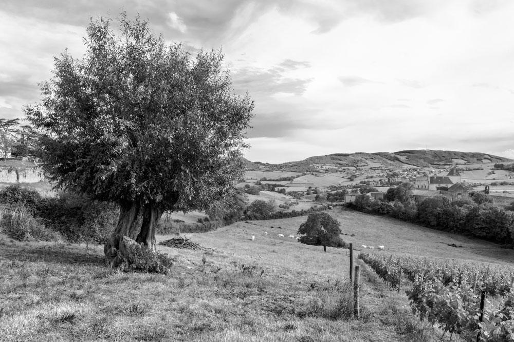 Entre-vignes-et-vaches---Berzé-le-Chatel---4496-nbw