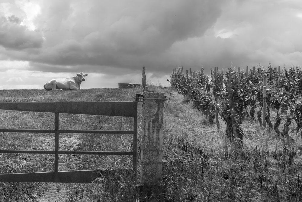 Entre-vignes-et-vaches---Berzé-le-Chatel---4806-nbw