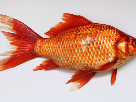 How to market to goldfish [infographic]