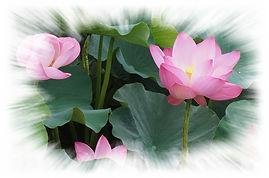 mediter lotus.jpg